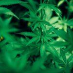 Día histórico en México la marihuana ya es legal.